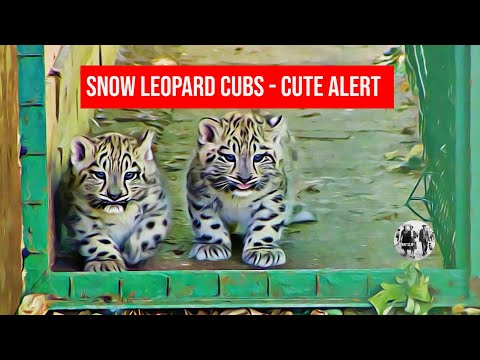 Cute Alert - Snow Leopard cubs