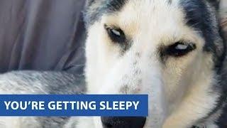 ハスキー犬の「寝てないアピール」がキュート(動画)