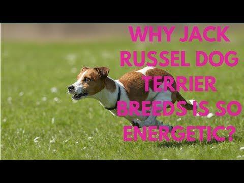 Why Jack Russel Dog Terrier Breeds Is So Energetic?