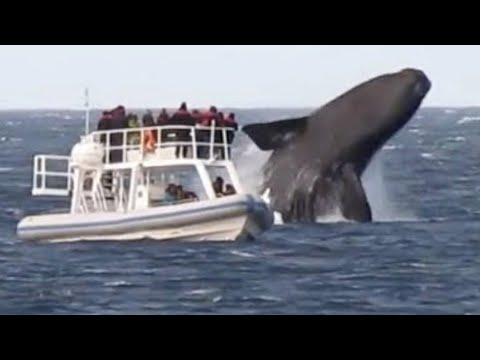 Huge Whales Swimming and Jumping Close To Boat