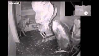 Ollie swallows the biggest rat yet 6-18-15