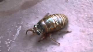 生まれて初めて蝉の生きた幼虫を見た 感動~