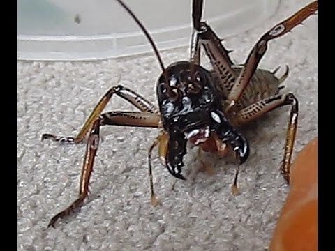 All About The Giant Weta | A Moment of Science - Indiana Public Media