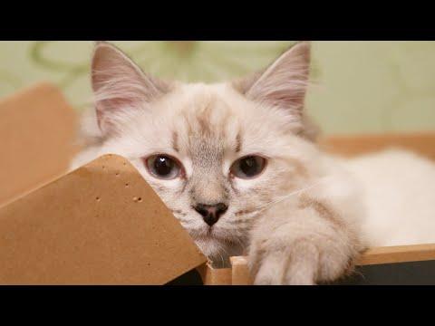Funny cat 🐾 Neva Masquerade. Siberian cat. Смешная кошка Порода Невская маскарадная Сибирская кошка
