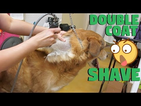 Dog double coated shave no damage to coat PROOF!