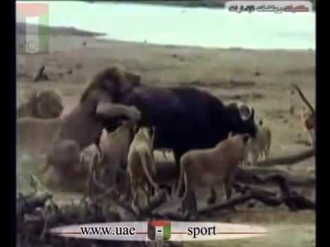 Lions Hunt Buffalo أسود تفترس جاموس كبير wwwuae sportsnet