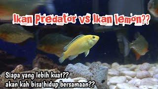 Download Mp3 Ikan piranha vs ikan lemon