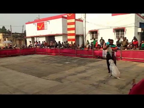 Kuttus Chandernagore - Barrackpore Dog show Dec 2015