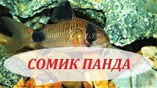 Сомик Коридорас Панда в аквариуме. Уход, размножение, содержание, кормление.