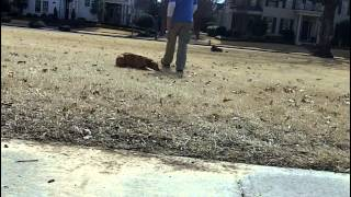 Natalie Dog Training Practice In Collierville Dog Obedience College