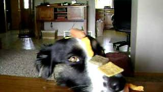 Border Collie Obeys Wait Command For 6 Minutes