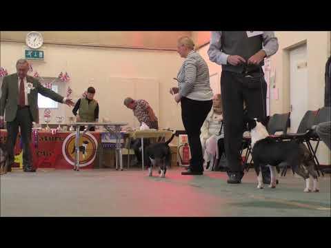 AMiniRumpus-Back-In-A-Minute Bull Terrier Miniature