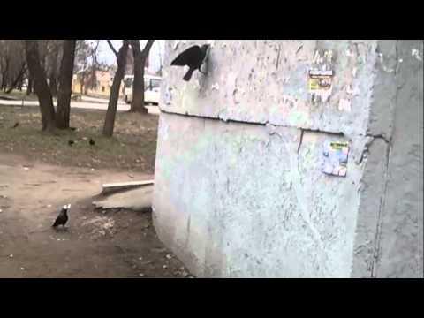 Под Петербургом птицы начали борьбу с незаконной рекламой [ВИДЕО]