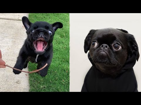 Funniest and Cutest Pug Dog Videos Compilation 2020  Cutest Puppy #6