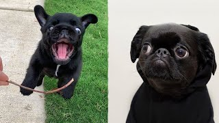 Funniest and Cutest Pug Dog Videos Compilation 2020 - Cutest Puppy #6