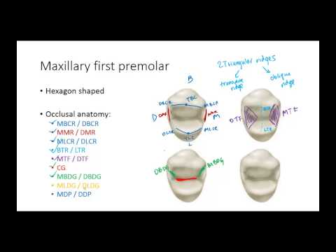 Dental Anatomy: Premolars