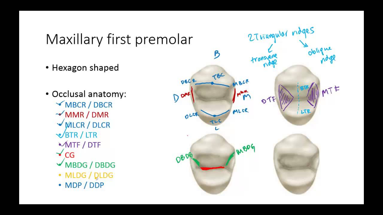 Dental Anatomy Premolars Youtube