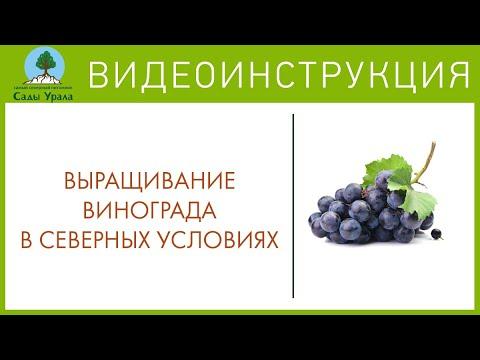 Как ухаживать за виноградом на урале