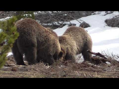 Yellowstone National Park  MISC wildlife  May 19, 2018