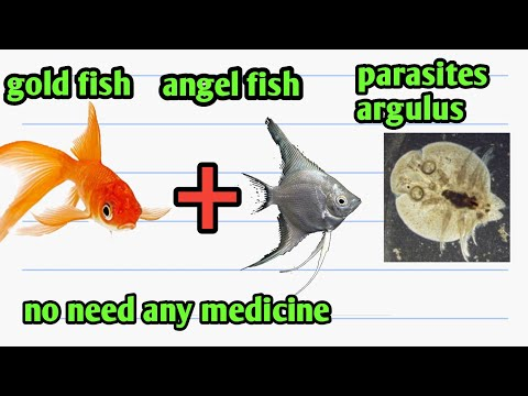 Gold Fish Ich And Parasites Treatment Without Any Medical