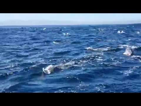 Dolphin frenzy - Robben Island, Cape Town
