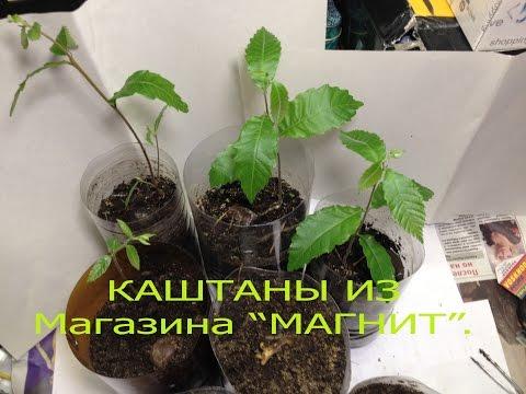 2.Chestnut.Вырастил съедобный(посевной) каштан из ореха,купленного в магазине Магнит.