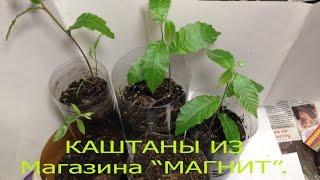 2.Chestnut.Вырастил съедобный(посевной) каштан из ореха,купленного в магазине