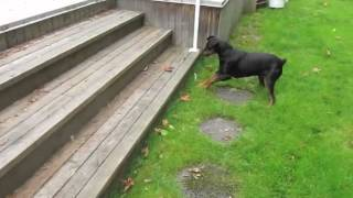 German Pinscher stalks a rat