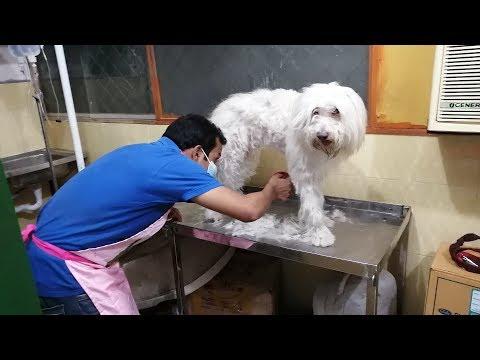 Dog Grooming Service @ পেট হসপিটাল এন্ড রিসার্চ সেন্টার @ Dr. Sagir's Pet Hospital