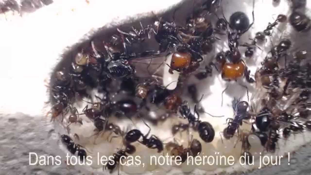 fourmis 10 avec deux ailes comme fourmis juin 2015 youtube. Black Bedroom Furniture Sets. Home Design Ideas