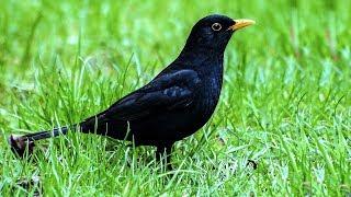 Голоса птиц. Пение черного дрозда.