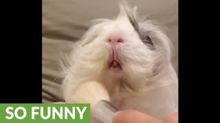 Guinea pig thoroughly enjoys hair brushing