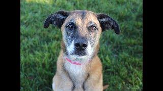 Meet Haley, a German shepherd mix up for adoption