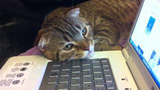 Кусешашковый тигровый кот