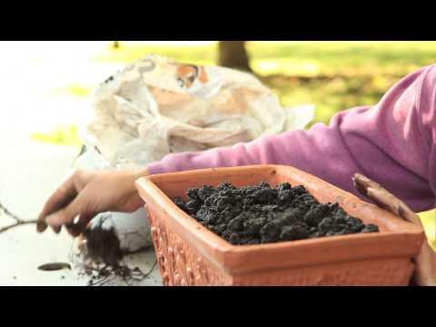 How to Repot Geraniums : Geranium Gardening