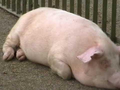 знакомства для взрослых свиней