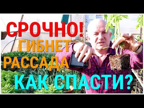 Беда! Заболела рассада помидоров. Три основные болезни рассады томатов. Как вылечить больную рассаду