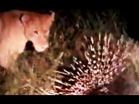 Lion And Porcupine Interaction - Latest Wildlife Sightings