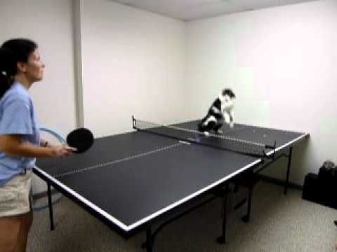 Thumbnail for Cat Video Cat Playing Ping Pong