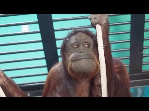 So funny! Orangutan is just like a human !!