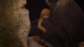 【地球:奇蹟的一天】幕後花絮:白頭葉猴現蹤篇