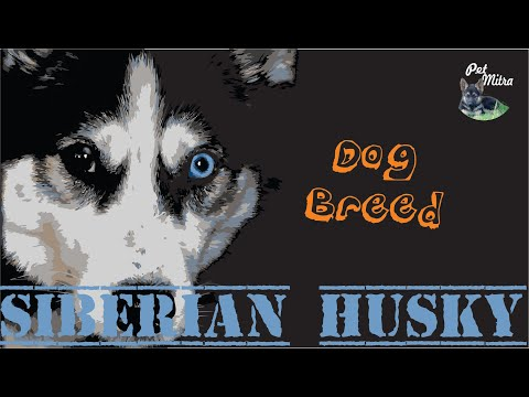 Dog Breed -  know about siberian husky | Know your breed ... before buying साइबेरियन हस्की डॉग