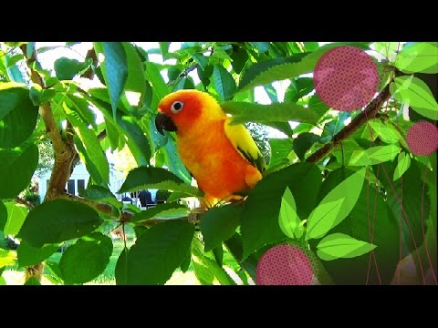 Sun Conure Parrot on a Cherry Tree