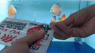Memberi Makan Ikan Discus Dengan Cacing Beku