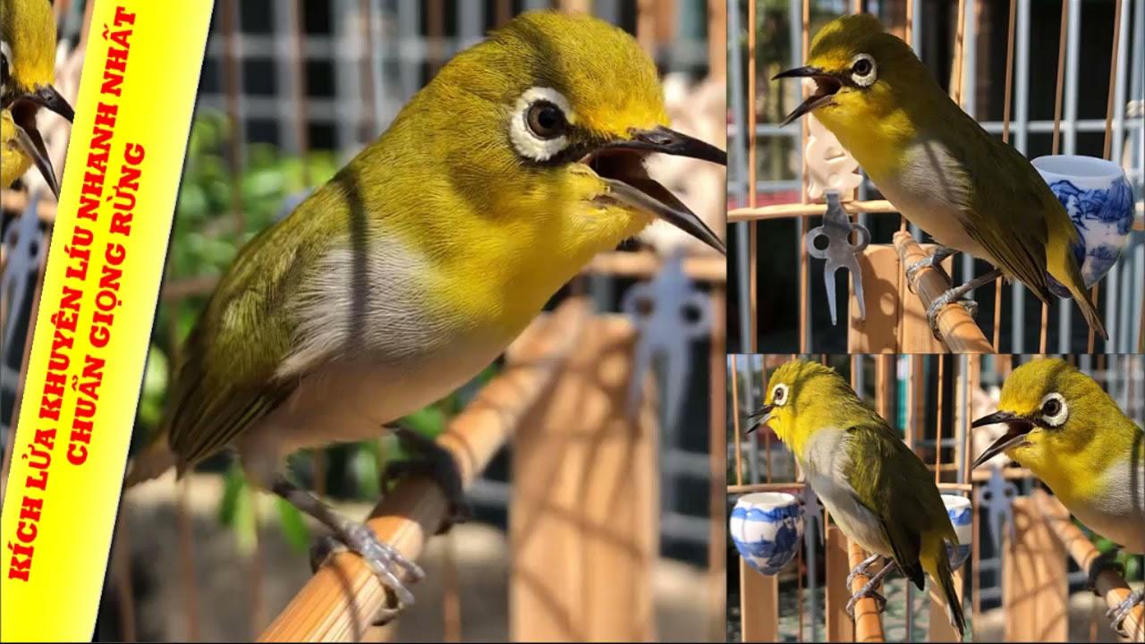 Kích lửa cho chim vành khuyên - Chữa bệnh chim vành khuyên lười líu hót - Luyện giọng khuyên líu đấu
