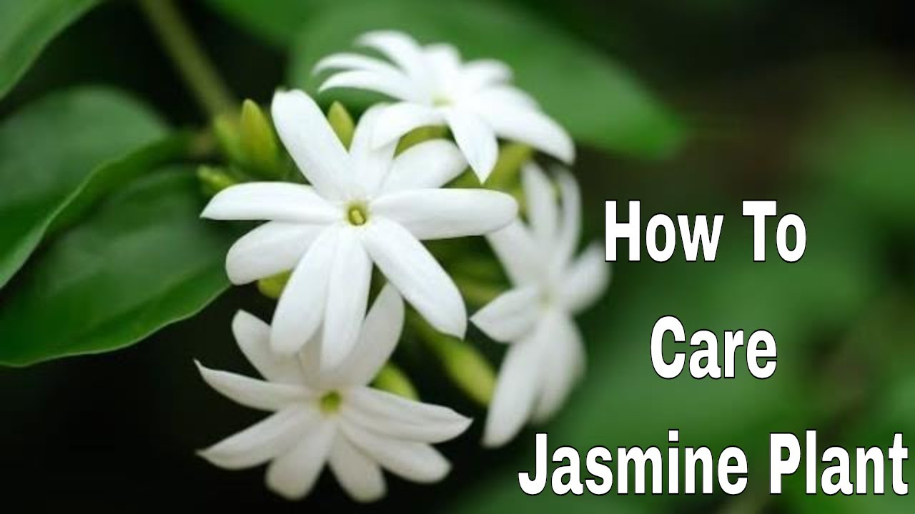 Growing Juhi Jasmine Flower Plant In Pot
