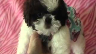 "Shih Tzu Garden Presents "" Doodle Smooch"" Choco And White"