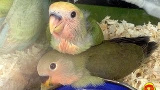 Peach-faced Lovebird Baby , TigerCherry and Olive