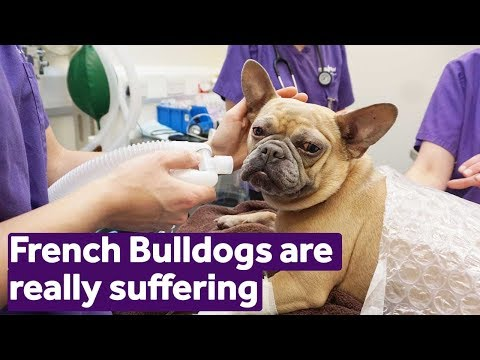 French Bulldogs Are Really Suffering | Mayhew