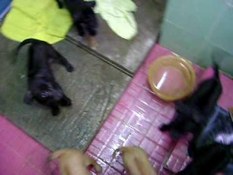 7 chú chó Phú Quốc.